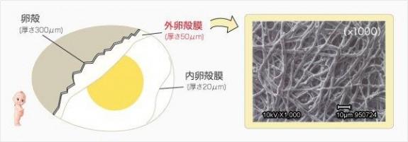 キューピー、卵殻膜の網目状構造写真