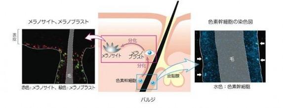 色素幹細胞_(2)