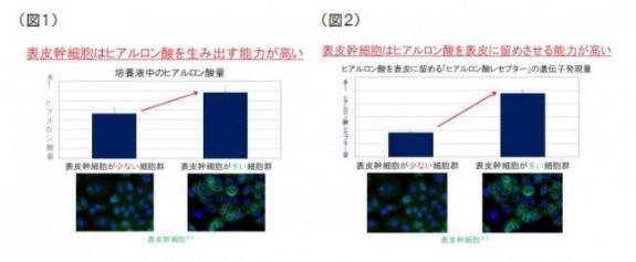資生堂、表皮幹細胞のヒアルロン酸産出_(2)
