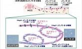 【7】花王、メラニン色素の生成メカニズムを解明(中)