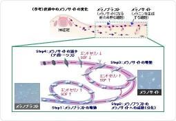 花王、メラノサイトの情報伝達物質