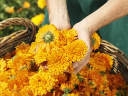 Harvester picking up calendula flowers, in the Weleda Garden in Germany. Close-up on hands holding flowers above a basket of calendula flowers.