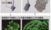 マンダム幹細胞研究 ~ヒト皮脂腺の3次元観察に成功~(下)